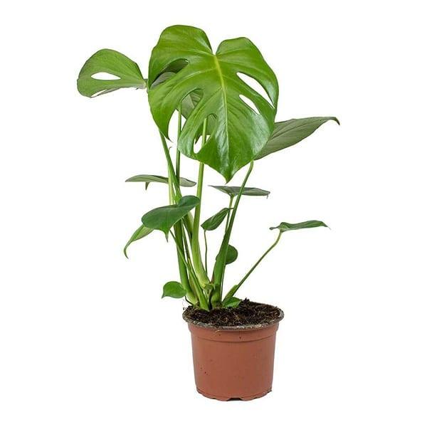 monstera biljka