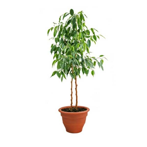 fikus bendzamin sobna biljka