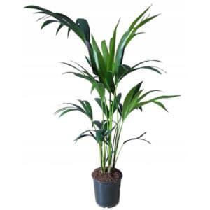palma kencija prodaja