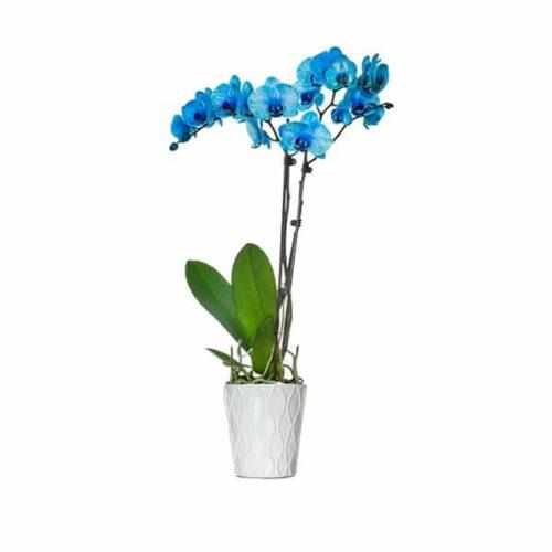 plava orhideja dostava