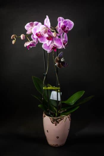 orhideja cvecara lotos