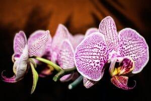 Kako presaditi orhideju?